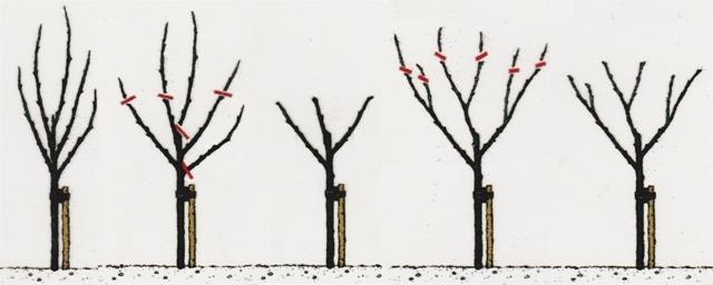 hoe appelboom snoeien